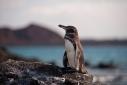 Galapagos Penguin on Bartolome Island