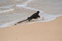 Santa Cruz Marine Iguana going into the water at Las Bachas beach