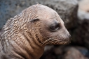 Close up of young Sea lion pup on the rocks on North Seymour