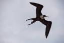 Female Frigate Minor bird in flight