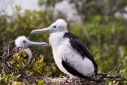 Pair of young frigate birds on their nest