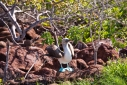 Male Blue footed Boobie engaged in courtship ritual