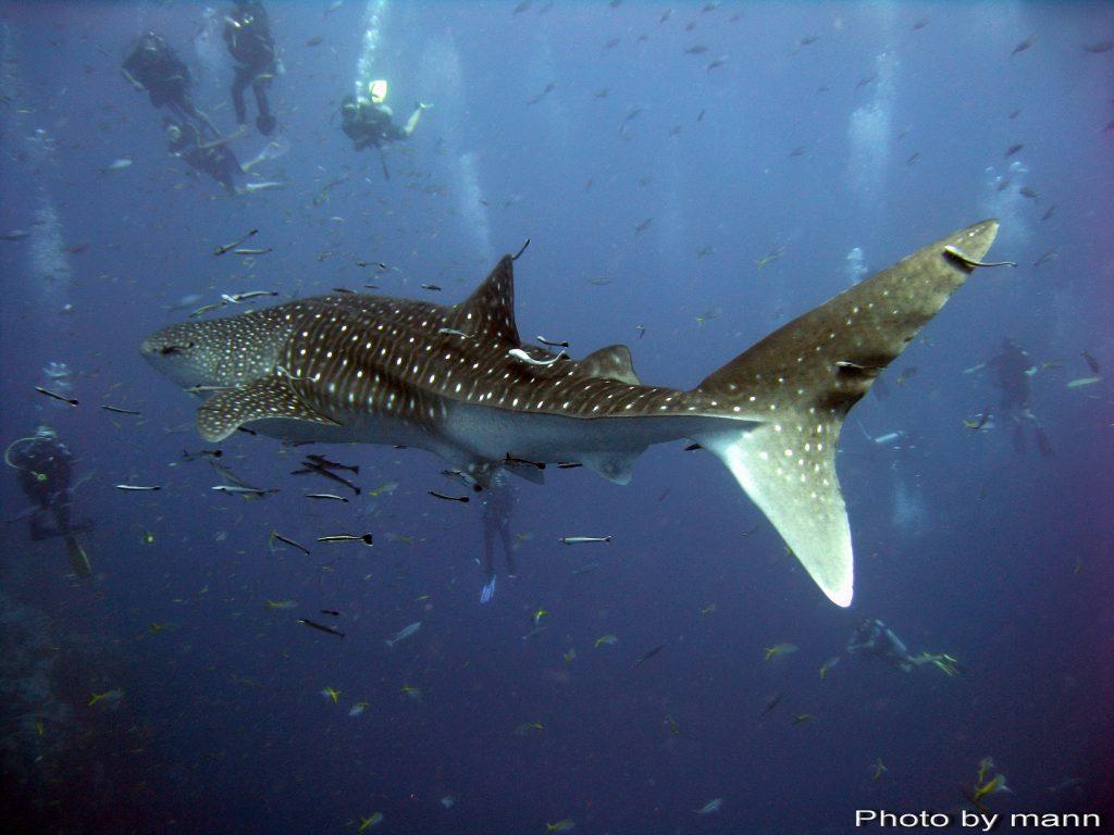 Koh Tao 'Whale Shark'- Photo Credit: Mann